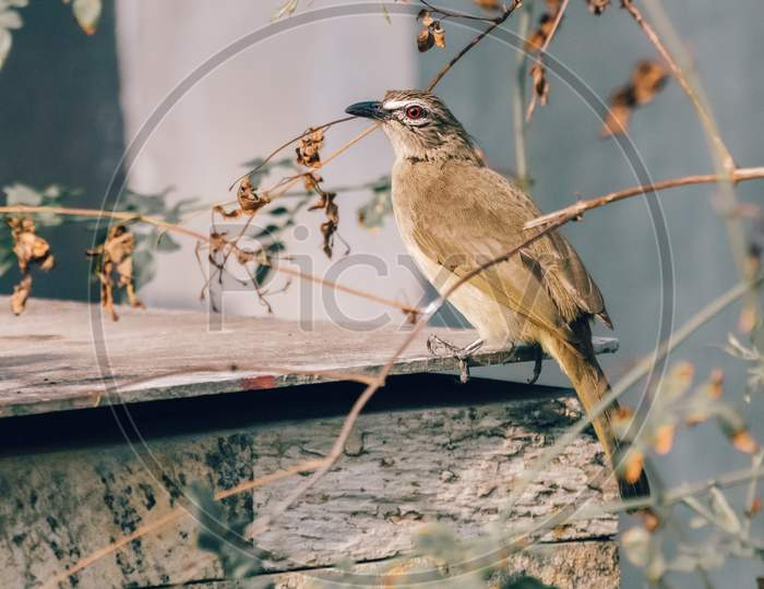 White-Browed Bulbul Perched On Top Of The Backyard Concrete Fish Tank Roof Sheet And Search For Food.