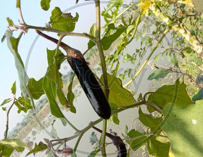 Tasty And Healthy Brinjal Closeup On Tree