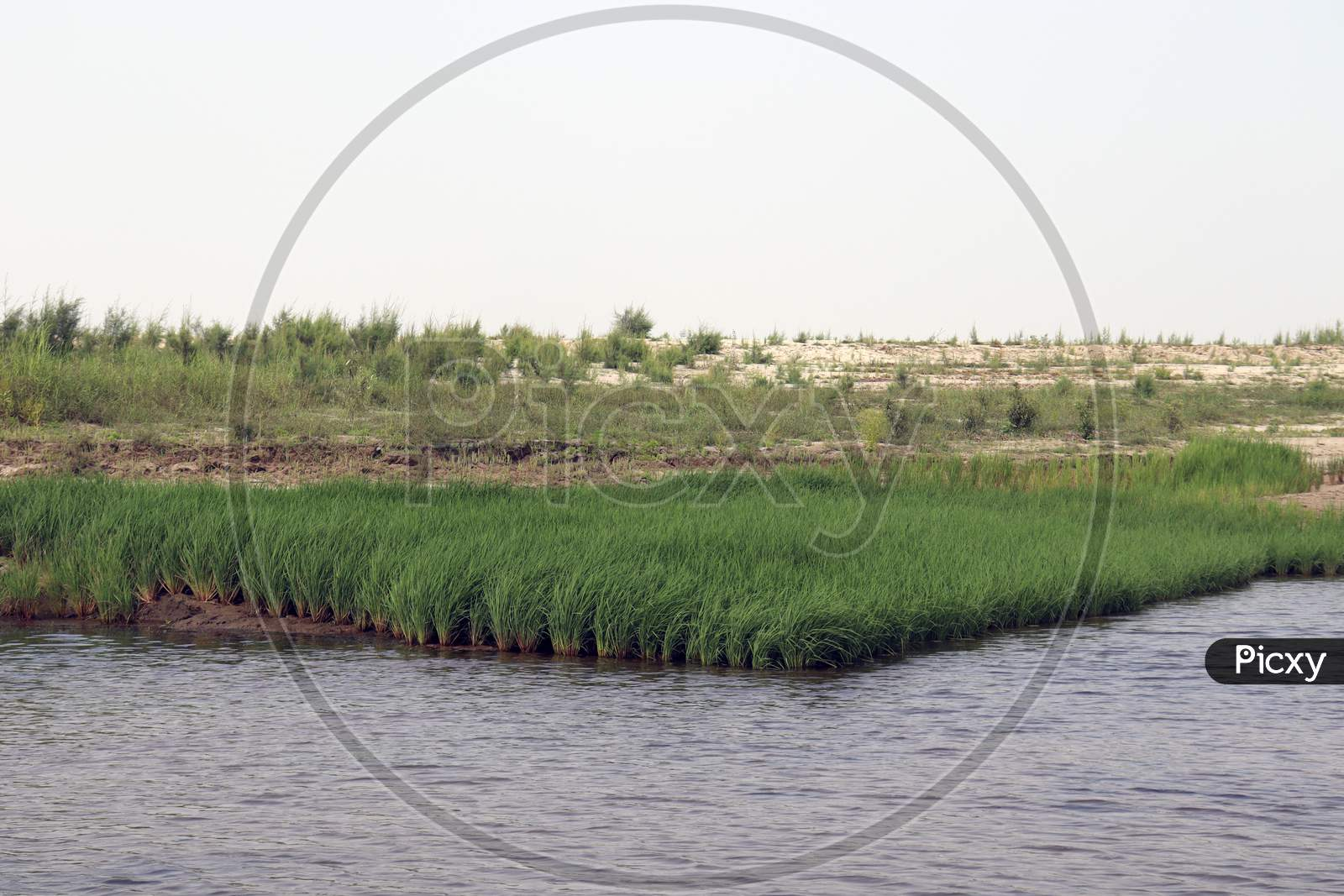 Green Colored Paddy Tree Firm
