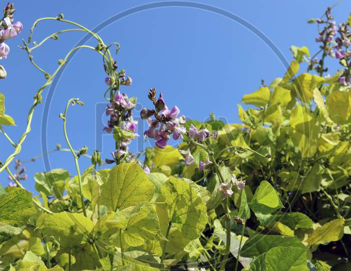 Fresh And Healthy Edamame Flower Stock On Tree