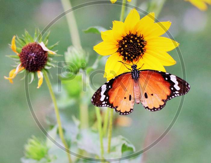 Butterfly with beautiful wings