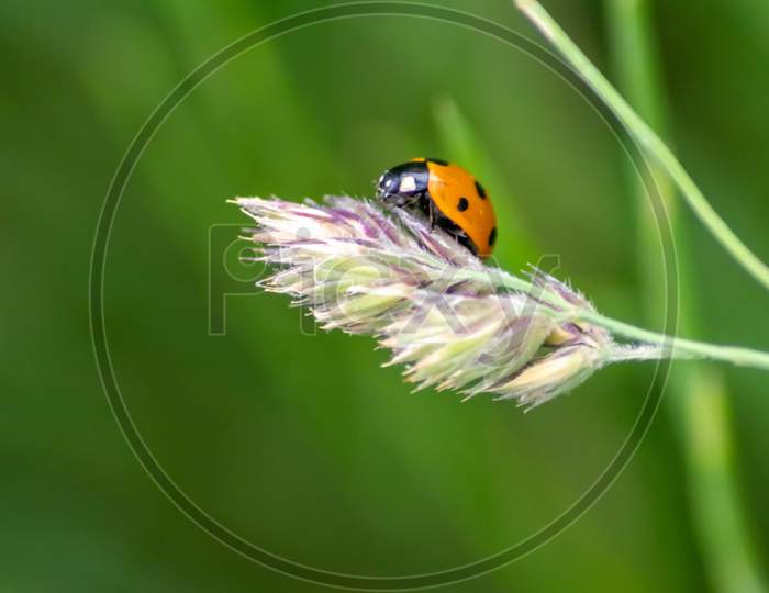 Beautiful black dotted red ladybug beetle climbing in a plant with blurred background and much copy space searching for plant louses to kill them as beneficial organism and useful animal in the garden