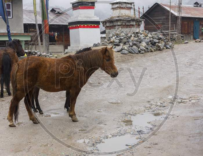 Acute Beautiful Horse Standing Road Side On The Way To Gurudongmar Lake, Sikkim. Selective Focus.