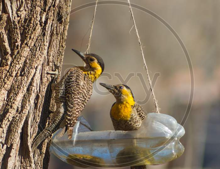 Couple Of Woodpeckers (Colaptes Campestris) Drinking Water From Recycled Bottle